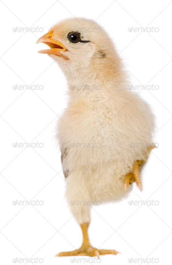 Chick, 15 days old, standing on one leg in front of white background - Stock Photo - Images