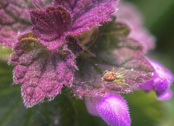 Tiny Spider into a small Purple Flower - Stock Photo - Images