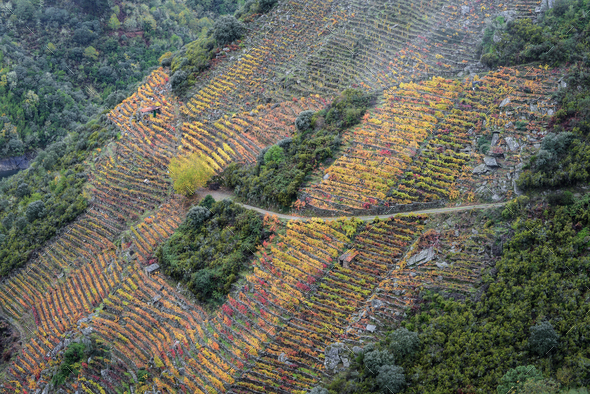 Colorful Autumnal Terraced Vineyards on the Slopes of Sil Canyon in Ribeira Sacra - Stock Photo - Images