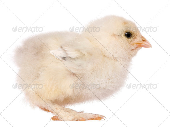 Brahama chick, 15 days old, standing in front of white background - Stock Photo - Images