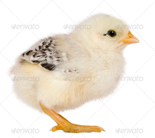Chick, 3 weeks old, standing in front of white background - Stock Photo - Images