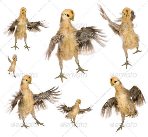 Collection of chicks trying to fly in front of white background - Stock Photo - Images
