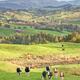Cow Herd in New Zealand - PhotoDune Item for Sale