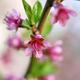 Beautiful blooming peach flowers - PhotoDune Item for Sale