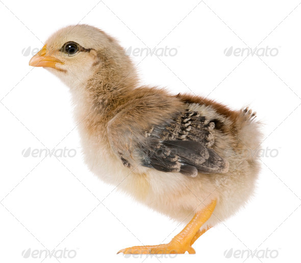 Chick, 15 days old, standing in front of white background - Stock Photo - Images