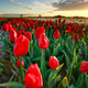 beautiful red tulips close up at sunset - PhotoDune Item for Sale
