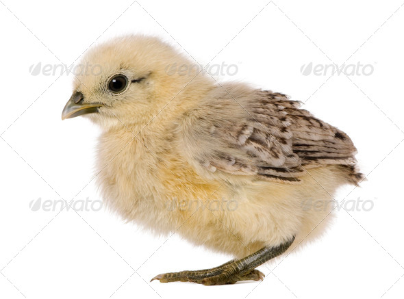 Chick, 1 week old, standing in front of white background - Stock Photo - Images