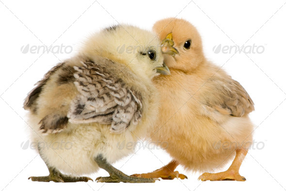 Two chicks standing in front of white background - Stock Photo - Images