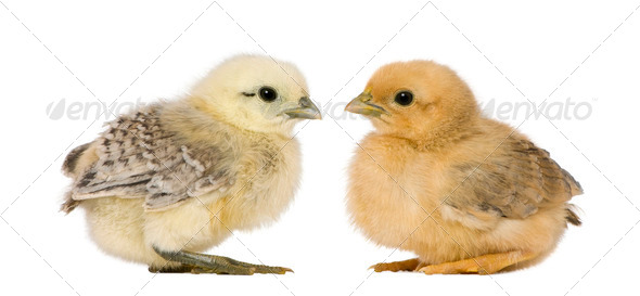Two chicks in front of white background - Stock Photo - Images