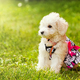 Cute small poodle puppy dog. - PhotoDune Item for Sale