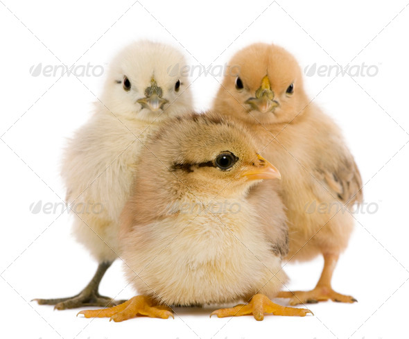 Group of three chicks standing against white background - Stock Photo - Images