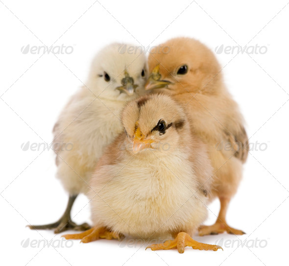 Three chicks in front of white background - Stock Photo - Images