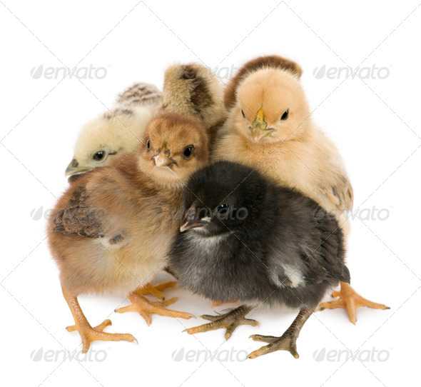 Four chicks in front of white background - Stock Photo - Images