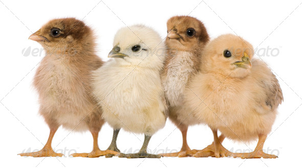 Group of four chicks standing against white background - Stock Photo - Images