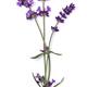 Lavender flowers close up - PhotoDune Item for Sale