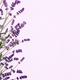 Beautiful frame of lavender flowers - PhotoDune Item for Sale