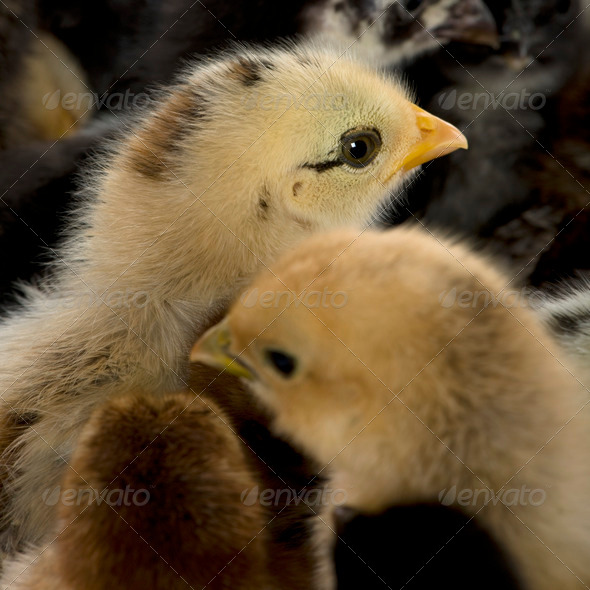 Close-up of group of chicks - Stock Photo - Images