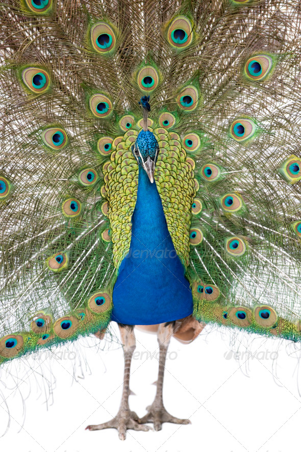 Front view of Male Indian Peafowl displaying tail feathers - Stock Photo - Images