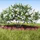 Oleander tree - 3DOcean Item for Sale