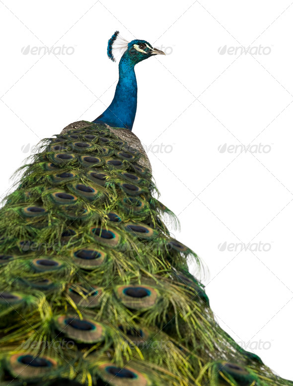 Rear view of a male Indian Peafowl in front of white background - Stock Photo - Images