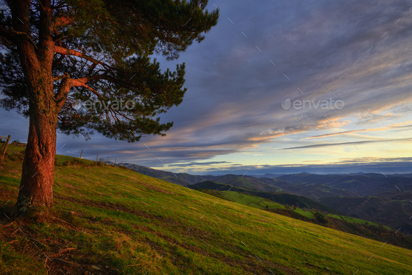 Sunset Rays browning the Bark of a lone Pine - Stock Photo - Images