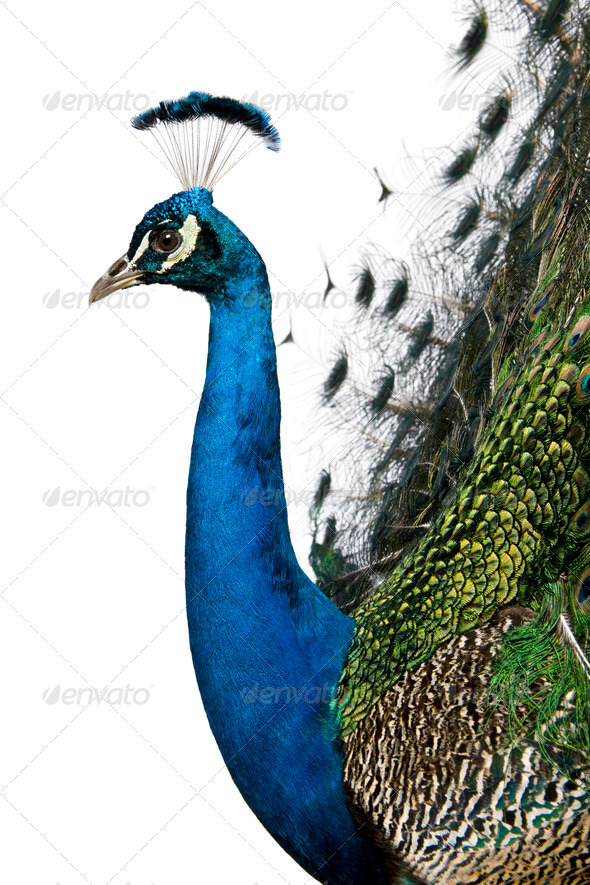 Profile of Male Indian Peafowl in front of white background - Stock Photo - Images