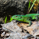 Green lizard on the stone - PhotoDune Item for Sale