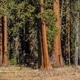 Sequoias Trees Woodland - PhotoDune Item for Sale