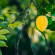 The star apple or carambola fruit hanging on the trees against dark background - PhotoDune Item for Sale