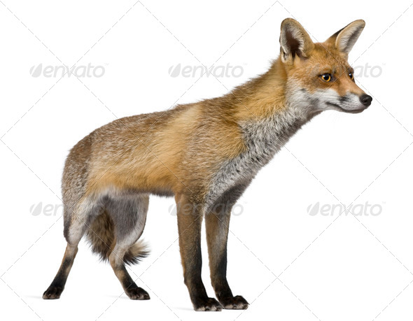Red Fox, 1 year old, standing in front of white background - Stock Photo - Images