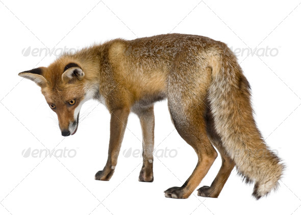 Side view of Red Fox, 1 year old, standing in front of white background - Stock Photo - Images