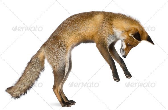 Side view of Red Fox, 1 year old, standing on hind legs in front of white background - Stock Photo - Images