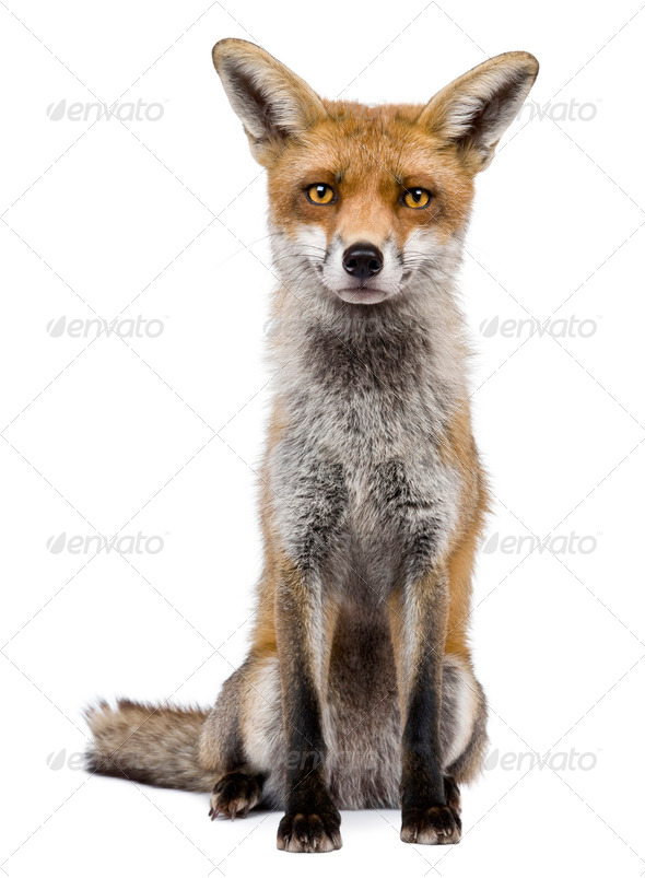 Front view of Red Fox, 1 year old, sitting in front of white background - Stock Photo - Images