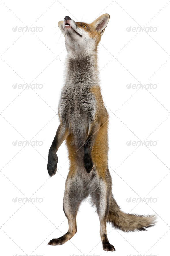 Red Fox, 1 year old, standing on hind legs in front of white background - Stock Photo - Images