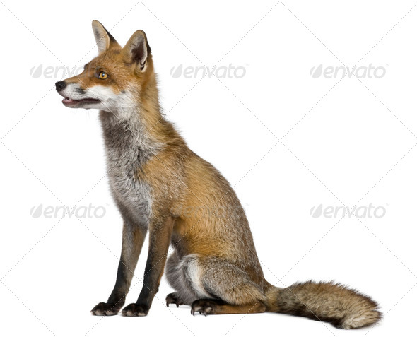 Side view of Red Fox, 1 year old, sitting in front of white background - Stock Photo - Images