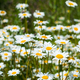 Summer white daisy flowers meadow - PhotoDune Item for Sale