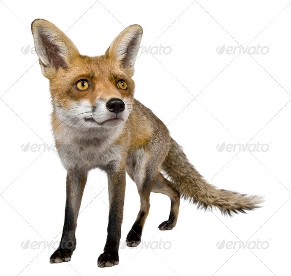 Front view of Red Fox, 1 year old, standing in front of white background - Stock Photo - Images