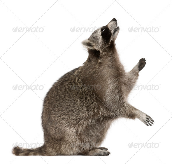 Raccoon looking up in front of white background - Stock Photo - Images