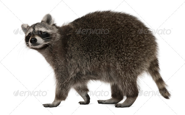Raccoon, 2 years old, walking in front of white background - Stock Photo - Images