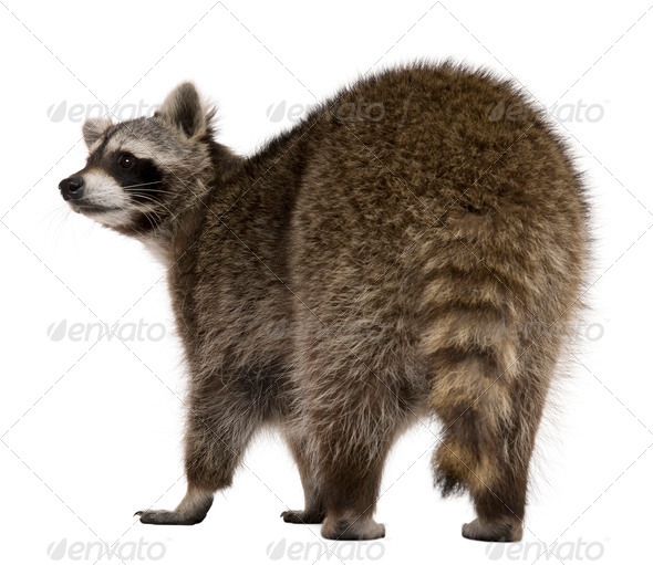 Rear view of Raccoon, 2 years old, standing in front of white background - Stock Photo - Images