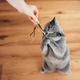 Cute British cat playing with rod toy held by a woman hand. - PhotoDune Item for Sale