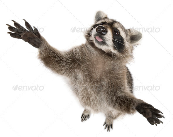 Raccoon, 2 years old, reaching up in front of white background - Stock Photo - Images