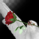 White Dove with Red Rose - Flying Transition - I - VideoHive Item for Sale