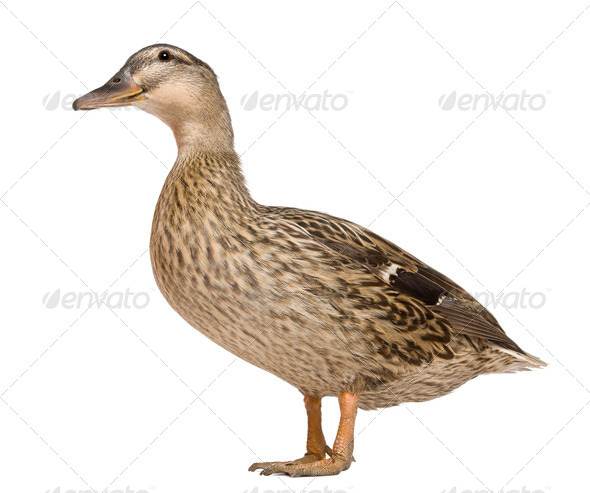 Female Mallard, 1 years old, standing in front of white background - Stock Photo - Images