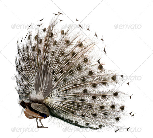Rear view of Male Indian Peafowl displaying tail feathers in front of white background - Stock Photo - Images
