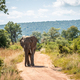 Big African elephant walking towards the camera. - PhotoDune Item for Sale