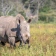 Female White rhino standing in the grass. - PhotoDune Item for Sale