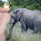 African Elephant standing on the side of the road. - PhotoDune Item for Sale