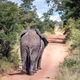 African elephants walking away on a road. - PhotoDune Item for Sale