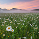 Daisy meadow on foggy morning - PhotoDune Item for Sale
